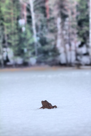 wintering: Frog dares 2. Brown frog woke up and migrates to wintering areas through icy snow-covered lake. Snow is falling
