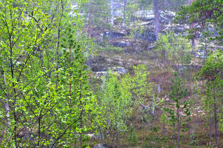 springtide: Spring. Young bright green leaves on branches and   warm sunshower