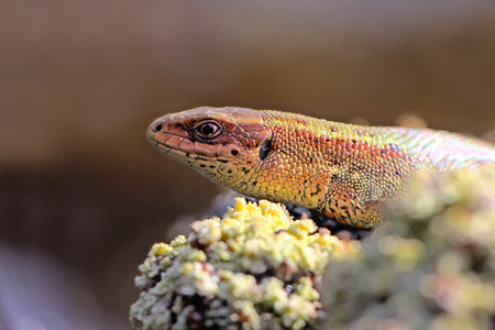 viviparous: Portrait of a lizard close up. Oscillating background Stock Photo