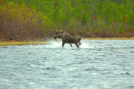 hoofed animals: Time of migration 9. Elk boost wide North of river. Adult male with grow horns