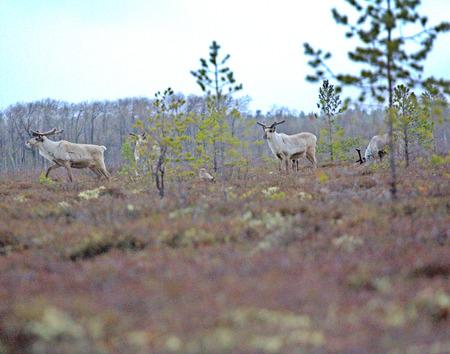 brute: Northern reindeers (European reindeer, Rangifer tarandus) and short-eared owl (Assia flammeus)