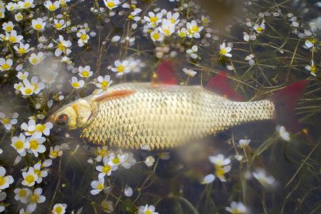 rudd: Fish Rudd in water buttercups