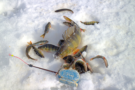 jigging: catch perch on winter fishing on lake in Scandinavia