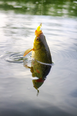 rudd: Golden Rudd - fishing on freshwater lakes in reeds