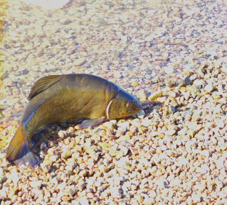 Tench (Tinea tinea) beats on sand, shore of lake. Stock Photo
