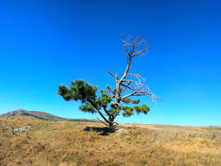 burningout: Lonely old half dry pine on tableland, Dry mountain meadows and mountain steppes. Aridity