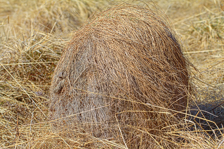 exclusive photo: Overgrown with sedge bump resembles  head of a man with rippling in  wind hair.