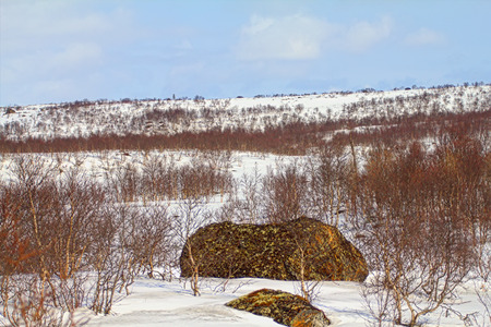 expanse: Mountain tundra of Lapland in spring. Snow-covered expanse and birch elfin. First patches in snow cover