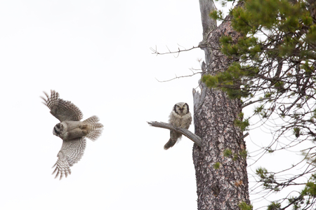 procreation: Parting. A pair of barred owls. During mating behaviour, male feeds female and flies to hunt Stock Photo