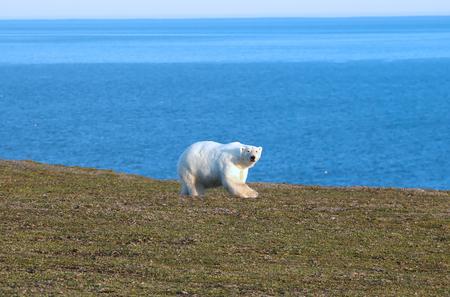 gravelly: Polar bear (Ursus maritimus) wanders among the polar gravelly desert, sniffs, looks around