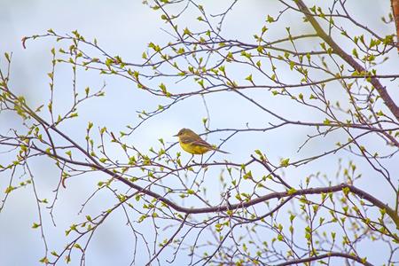 birdwatcher: Photo spring mood. Bird on branch with fresh new leaves. Yellow wagtail (Motacilla flava) on verdant birch