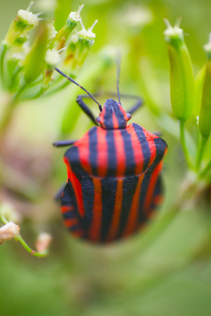 graphosoma: Haute couture. Trendy color for clothing designers. Brightly colored bug Italian (Graphosoma italicum). Macro Stock Photo