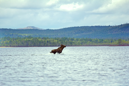 hoofed animals: Time of migration 9. Elk cross wide North of river. Adult male with grow horns