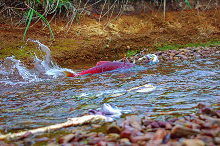 salmon migration: The salmon who has gathered for spawning in a riverhead. breeding bin. Commander Islands. Stock Photo