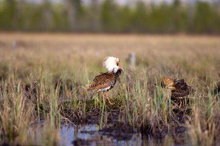 botas altas: Pugnacious apuesto 4. Ultimate Fighting. Andarr�os (waders) acerinos (Philomachus pugnax, machos) pelea en el pantano contra el fondo del lago y el bosque