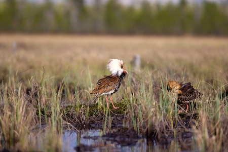 frill: Pugnacious handsome 4. Ultimate fighting. Sandpipers (waders) ruffs (Philomachus pugnax, males) fight in swamp against background of lake and forest