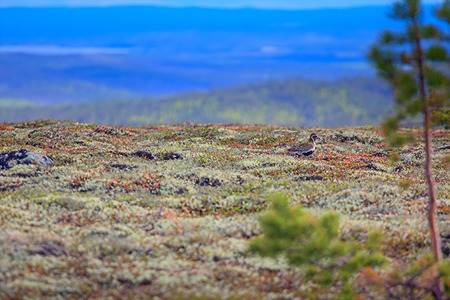 European golden plover (Pluvialis apricaria) on expanses of Lapland tundra. Visible mask color nesting birds