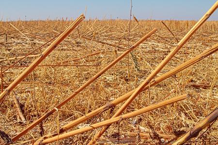 helianthus: sunflower field after harvest. Dry stalks rustle in the wind