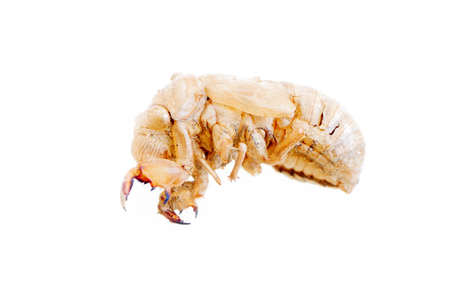 Frightening larva beetle woodworm. White fuzzy creature, terrifying prehensile paws, with rudimentary wings