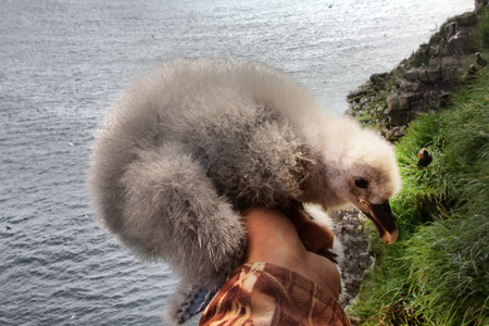 thick white fluffy nestlings of Fulmar (Fulmarus glacialis) in hand of researcher-ornithologist amid birdy spot and ocean. Aleutian-Commander islands, Pacific ocean Stock Photo