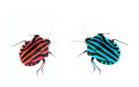 haute couture: Haute couture. Trendy color for clothing designers. Brightly colored bug Italian (Graphosoma italicum). Macro Stock Photo