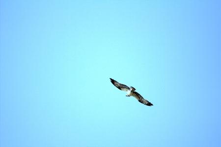 silhouette of flying osprey Pandion haliaetus  on blue sky background