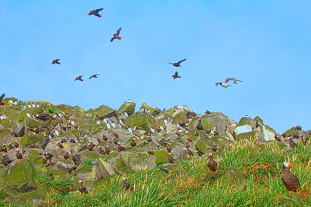 Avian community. Mixed seabird colonies  (Guillemot, tufted puffin) in Aleutian-Commander Islands. Pacific ocean.  Stock fotó