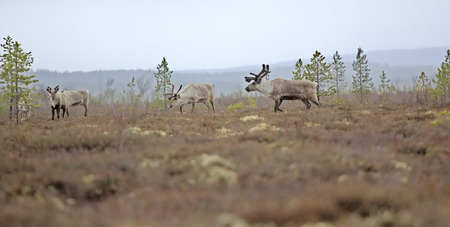 herd of deer: leader of reindeer herd is kept between herd and man