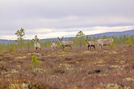 santaclaus: Reindeer alert when danger threatened. Five deers on high bog of Lapland
