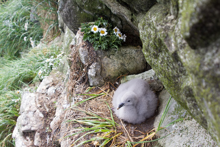 incubation: Fulmar (Fulmarus glacialis), female sits on single egg for incubation
