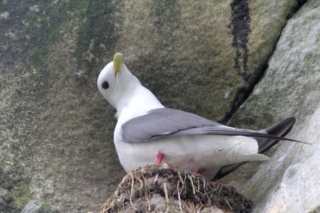 rabbet: Single mum. Very cute little gull, rare in nature. Red-legged kittiwake (Rissa brevirostris) in nest on rock Stock Photo