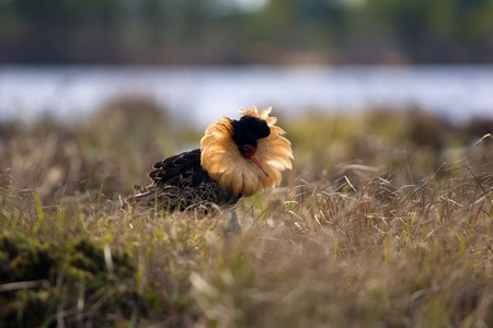 Mating behaviour. Male ruffs are in state of self-advertising. Birds unfold luxurious frill