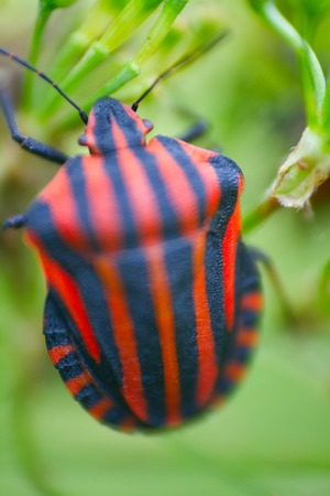 swanky: Haute couture. Trendy color for clothing designers. Brightly colored bug Italian (Graphosoma italicum). Macro Stock Photo