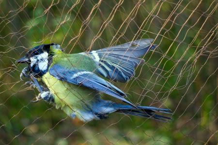 metodo cientifico: Ornitólogos de la captura de aves para las señales de la utilización de redes especiales de niebla.