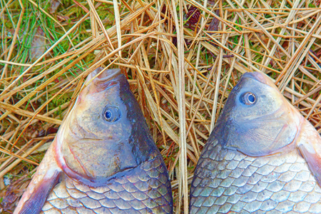 two animals: two animals carp fishing catch on the grass. spring fish fishing on the float rod