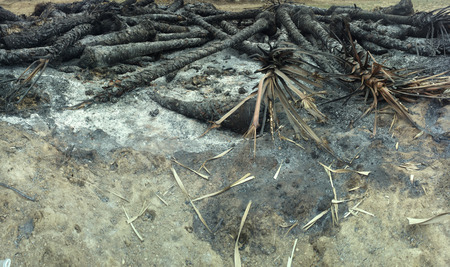 conflagration: conflagration in the rainforest. Fire left charred trunks of palm trees