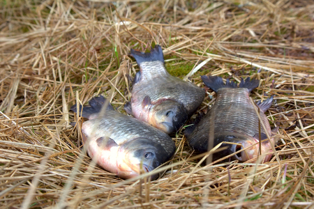 three animals carp fishing catch on the grass. spring fish fishing on the float rod