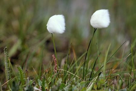 powder puff: Natural powder puff for face. Dense packing of flowers moss crop (cotton grass, Eriophorum) on the North - cold protection