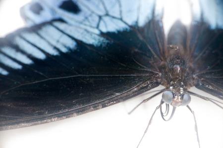 swallowtails: Head, legs, sucking proboscis, and huge compound eyes of Swallowtail butterfly Papilio Polymnestor. Macro shot