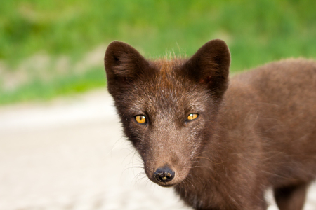 anticipation: Blue Fox. Frank gaze. Cute, but wily critter. Stealth, alertness, deceit, anticipation in his eyes Stock Photo
