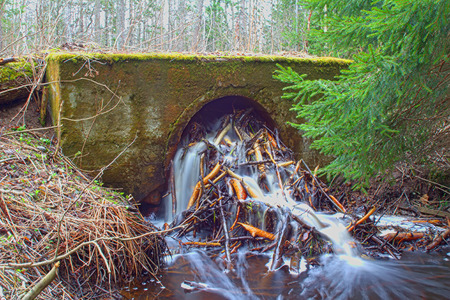 Beavers damage hydraulic engineering and road construction 1. Animals gnawed twigs and scored drainage pipe under road Stock Photo
