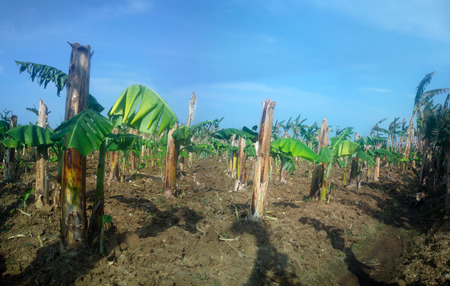 Old banana plantation. Old hollow broken stems (backup) and from rhizomes have grown new leaf Stock Photo