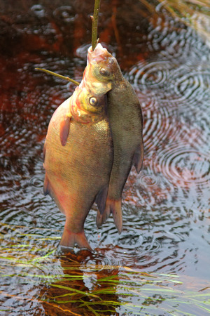 prepack: Fresh fish and old ways of its preservation 4. Bream, carpbream (Abramis brama). Caught fish put on wooden  fish string and placed in running water, wavering seaweed