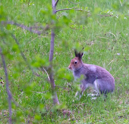 Arctic hare (Lepus timidus) from Lapland. Transitional colour from winter to summer. Hare in oestrum active during day