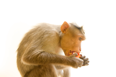 primates: Indian macaques lat. Macaca radiata.  wild animal primates on a white background. one animal  eating food