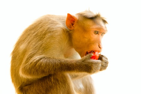 Indian macaques lat. Macaca radiata.  wild animal primates on a white background. one animal  eating food