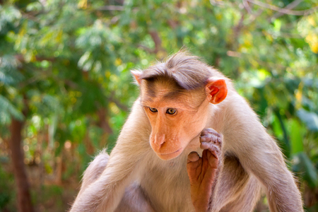 devour: Indian macaques, bonnet macaques, or (lat. Macaca radiata). Habitat types mountain forests of tropical India, sometimes go to the cities.  One monkey close portrait on a tree branch