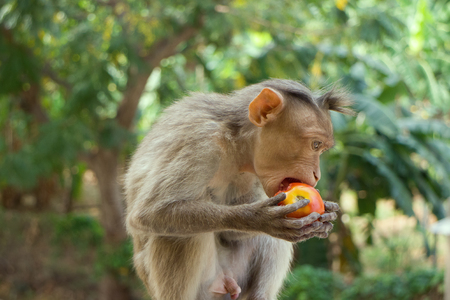 partake: Indian macaques, bonnet macaques, or (lat. Macaca radiata). Habitat types - mountain forests of tropical India, sometimes go to the cities.  One monkey feeds on tree close-up