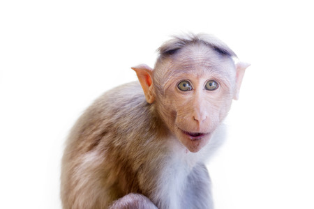 primates: Indian macaques lat. Macaca radiata.  wild animal primates on a white background. one animal is a monkey close up looking at the camera