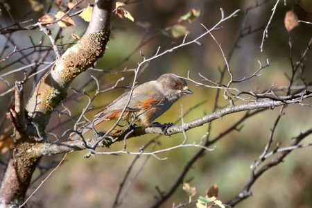 Siberian Jay (Perisoreus infaustus) is very kind and funny (curiosity) taiga bird. Shows gullibility and cunning against man, stealing from hunters